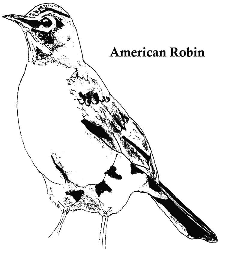 American Robin Coloring Pages