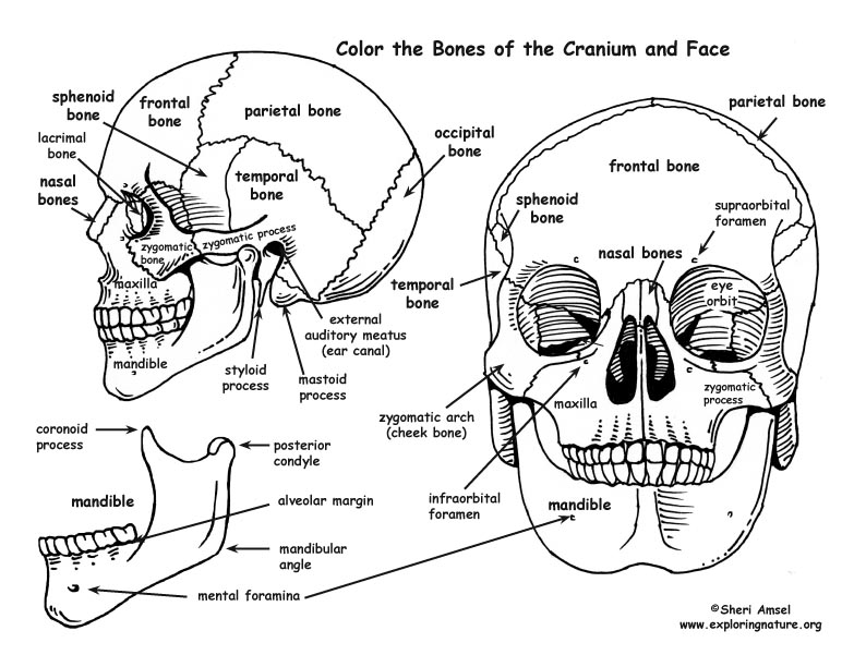 Anatomy Skull Printable Sheet