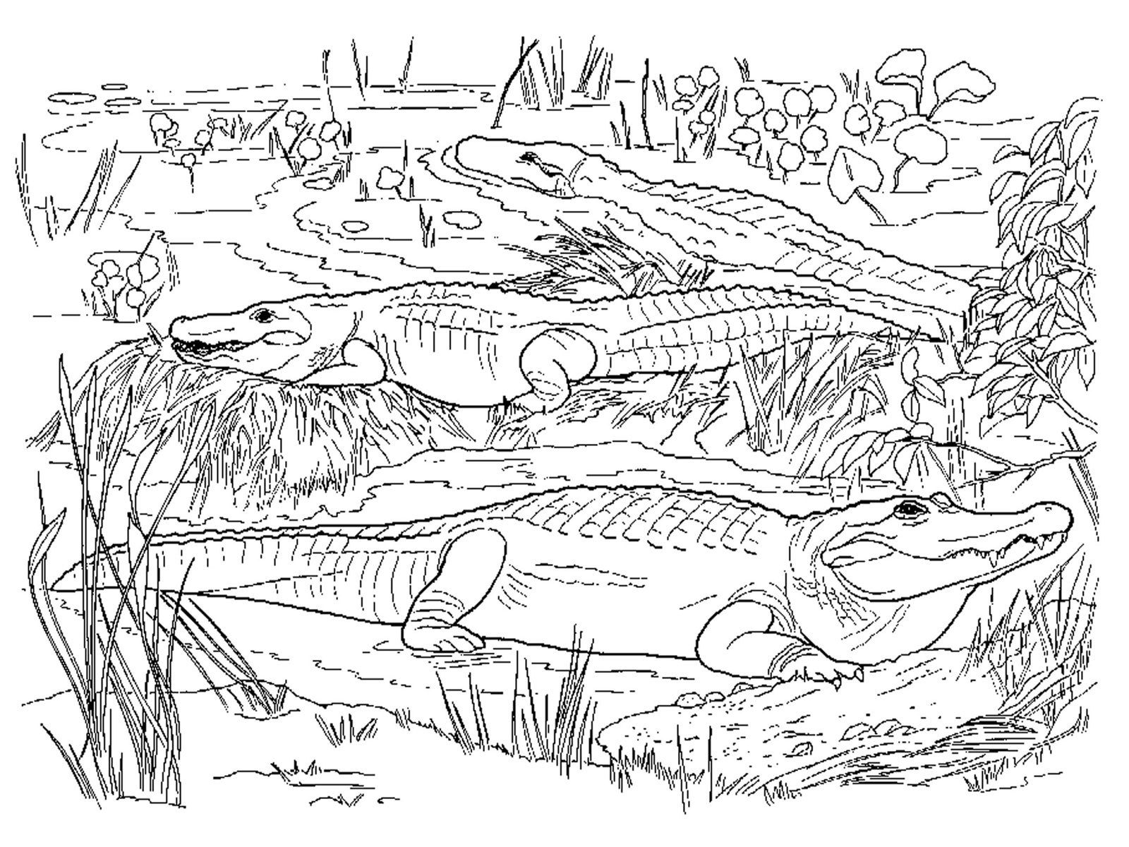 Crocodiles Coloring Pages