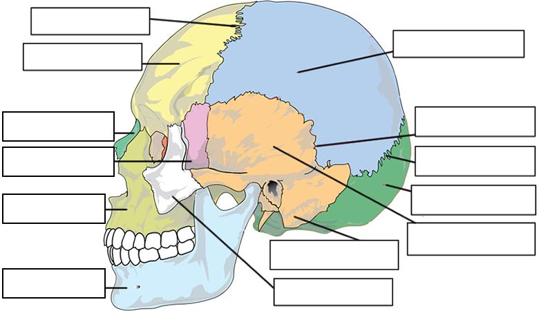 Label Skull Anatomy Worksheet