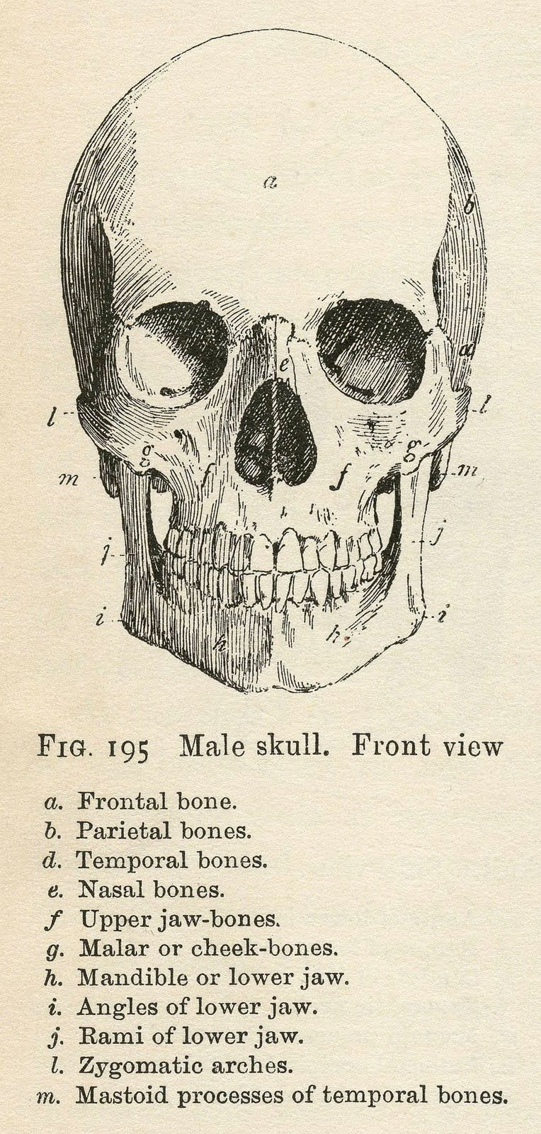 Labeled Anatomy Skull Drawing