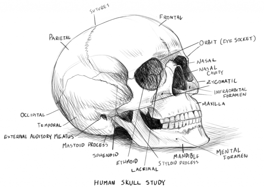 - Skull Anatomy Coloring Pages – Coloring.rocks!