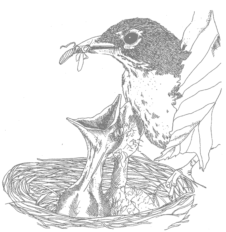 Mother Feeding Babies Robin Coloring Pages