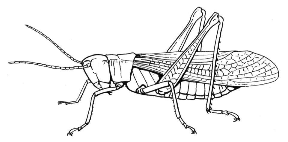 Realistic Grasshopper Coloring Page