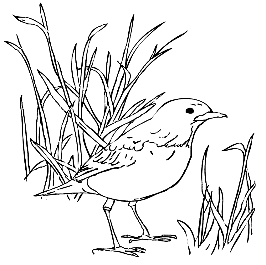 Robin Bird In The Grass Coloring Page