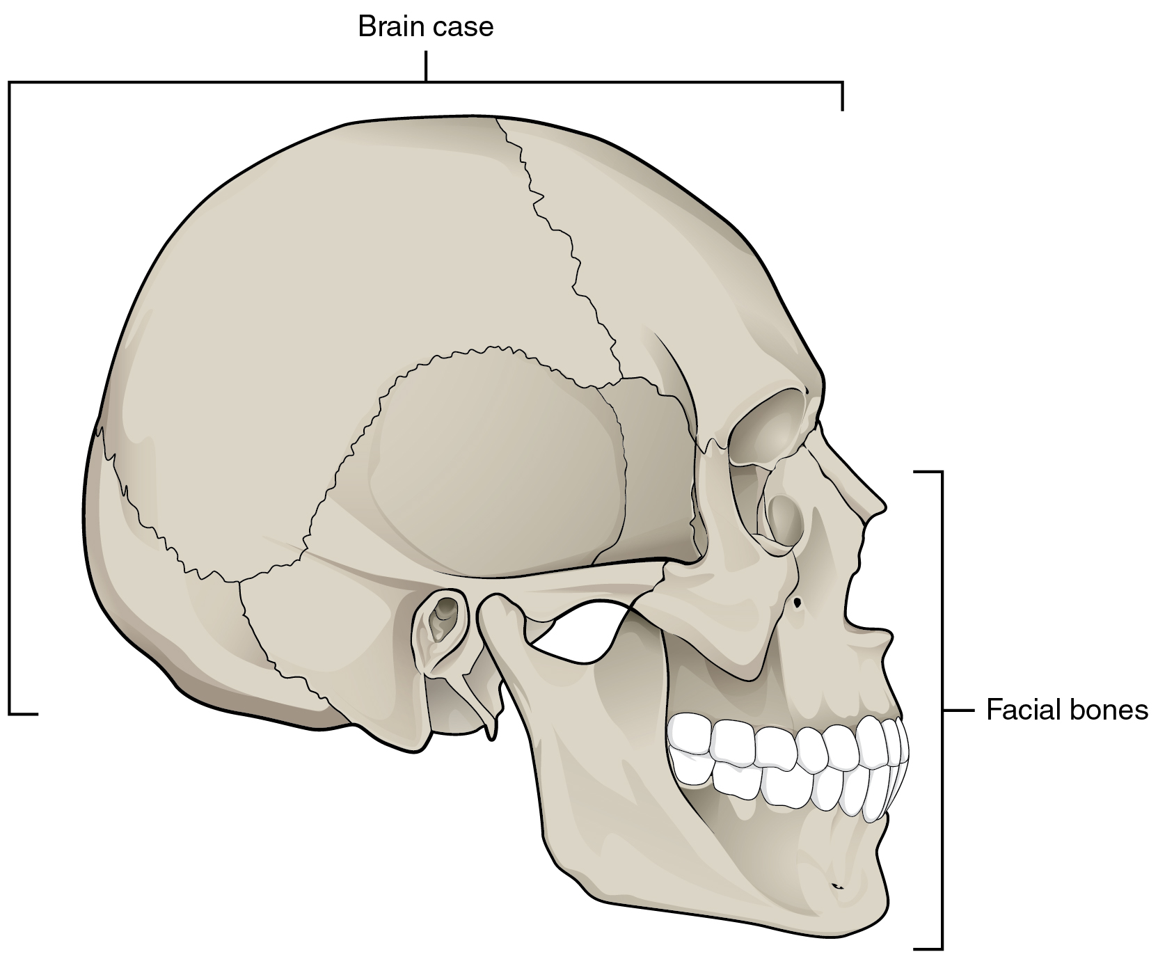 Simple Skull Anatomy Diagram Overview