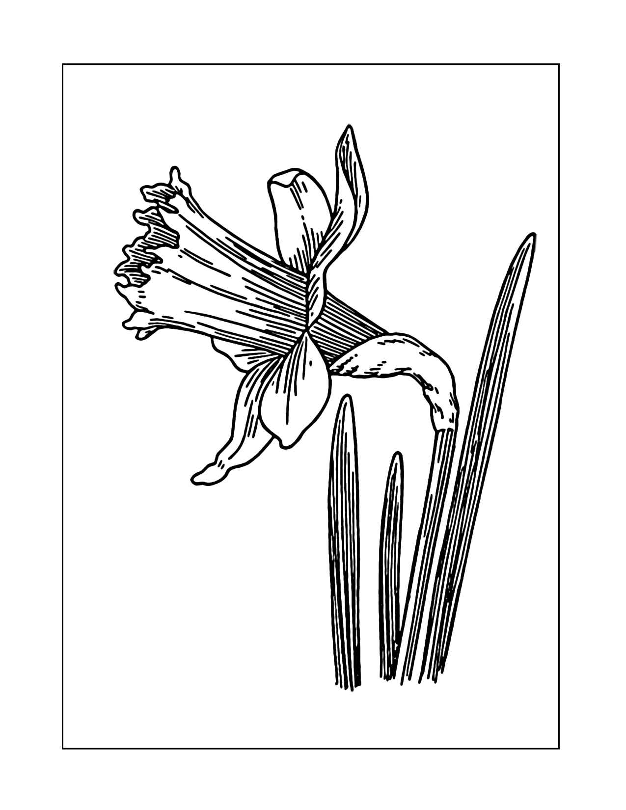 Single Daffodil Detail Coloring Page
