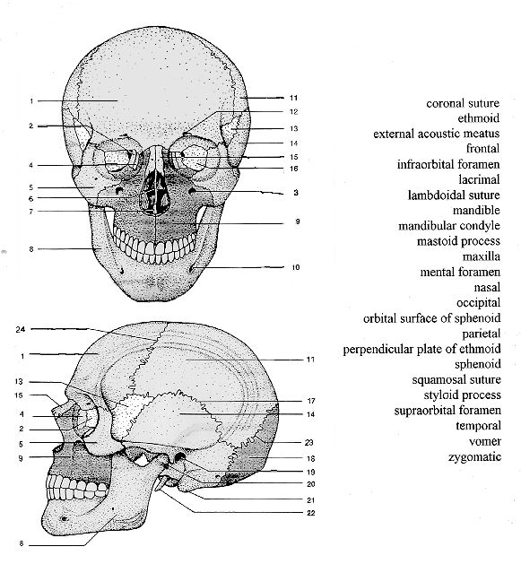 Skull Anatomy Printable Sheet