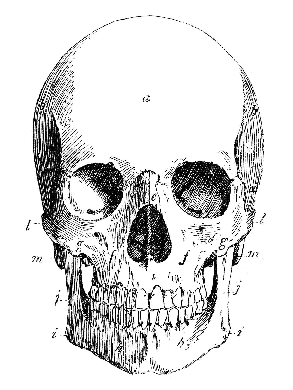 Skull Anatomy Sketch