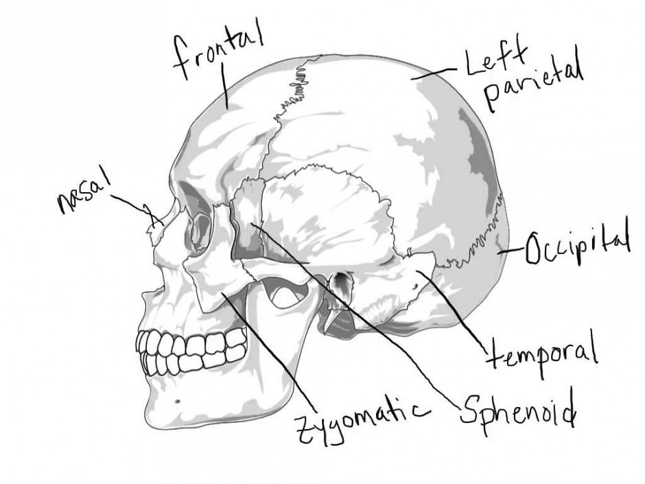 Skull Anatomy Coloring Pages Coloring Rocks